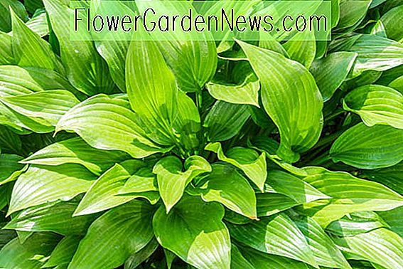 Hosta (Weegbree Lily)