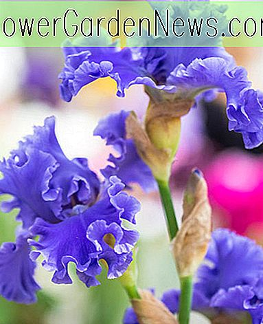 Iris 'Yaquina Blue' (Bearded Iris)