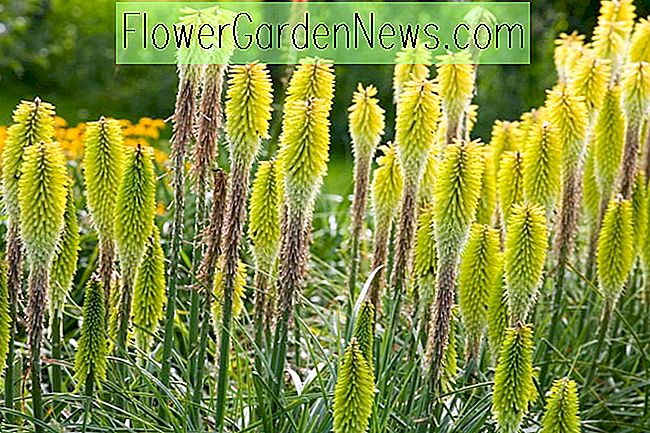 Kniphofia 'Percys Stolz' (Red Hot Poker)
