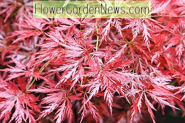 rote korallen rinde japanischer ahorn baum