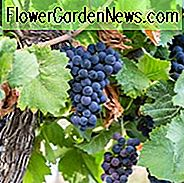 Vitis Concord, Grape Vine Concord, Grape Concord, Vitis labrusca Concord, Grape Vines, Blue Grapes, Seedless Grapes