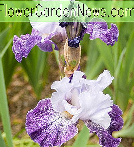 Iris 'Splashacata' (Bearded Iris)