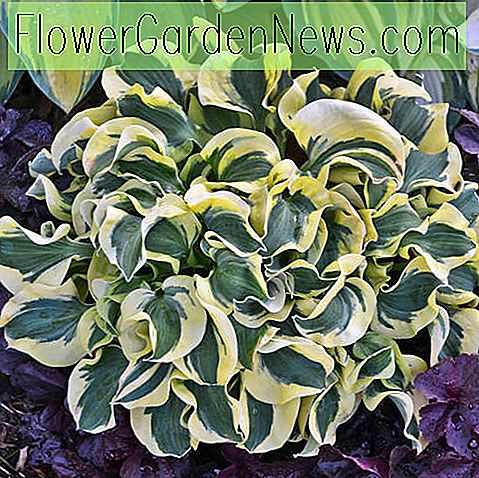 Hosta 'Mini Skirt' (Weegbree Lelie)