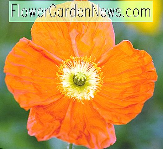 Papaver Nudicaule 'Champagne Bubbles Orange' (Island Mohn)