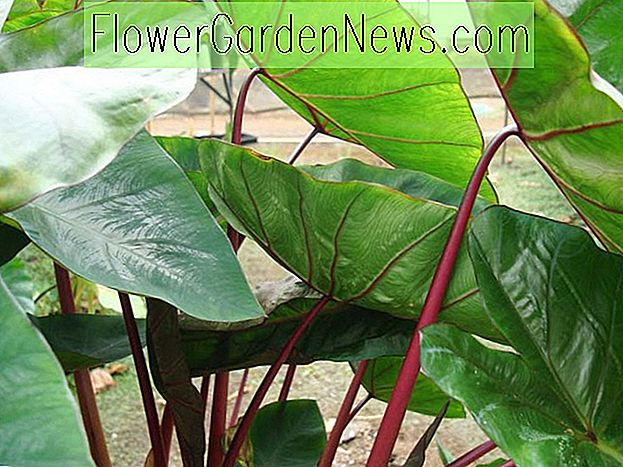Colocasia esculenta 'Hawaiian Punch', Taro 'Hawaiian Punch', Elefantenohren 'Hawaiian Punch', immergrüne, ausdauernde, rote Stiele