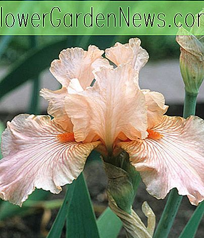 Iris 'Diamond Blush' (Reblooming Bearded Iris)