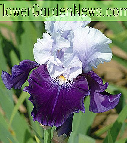 Iris 'Royal Storm' (Iris barbu)