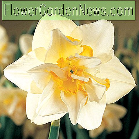 Narcissus 'White Lion' (Double Daffodil)