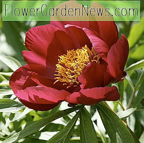 Paeonia 'Early Scout' (พีโอนี)