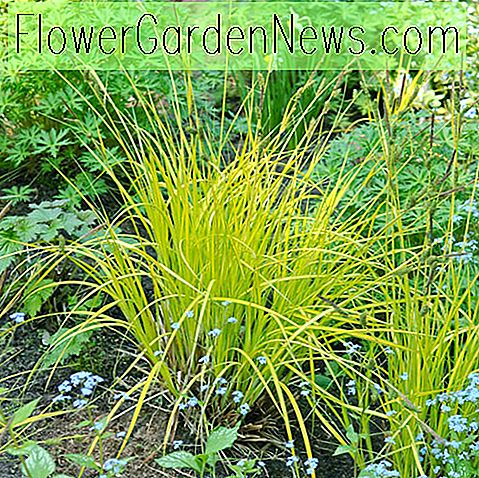 Carex elata 'Aurea' (Bowles 'Golden Sedge)