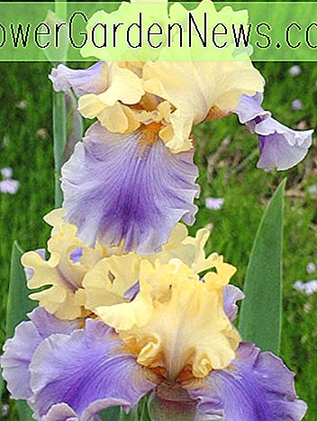 ไอริส 'Edith Wolford' (Bearded Iris)