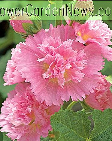 Alcea rosea 'Spring Celebrities Pink' (Hollyhock)