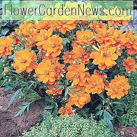 Cosmos Sulphureus 'Cosmic Orange', gele kosmos Cosmic Orange, Orange Cosmos Cosmic Orange