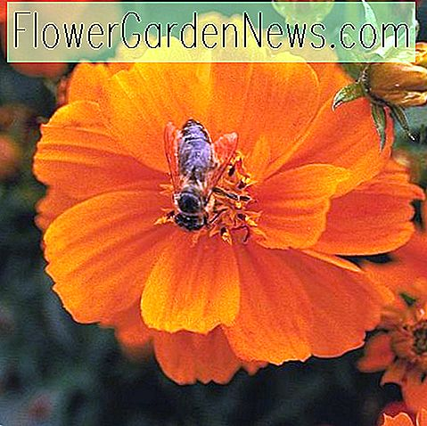 Cosmos sulphureus 'Cosmic Orange'