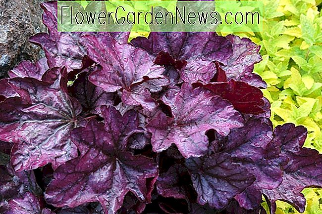 Heuchera 'Plum Royale' (Korallenglocken)