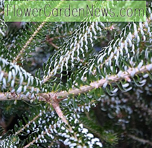 Abies koreana 'Silberlocke', Koreansk Fir 'Silberlocke', Horstmann's Silberlocke Koreansk Fir, Abies Koreana 'Horstmann's Silberlocke', Evergreen Conifer, Evergreen busk, Silberlock Koreansk Fir, Silberlock Fir