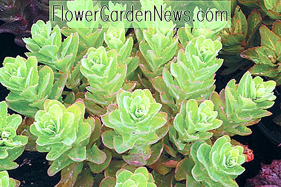 Sedum 'Pool Party' (muurpeper)