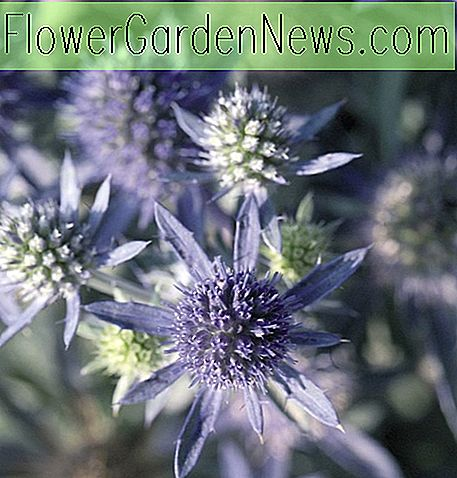 Eryngium planum 'Blue Hobbit' (Sea Holly)