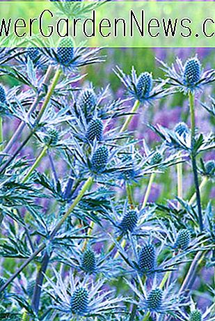 Eryngium x zabelii 'Big Blue' (Sea Holly)