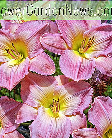 Hemerocallis 'French Tudor' (Reblooming Daylily)