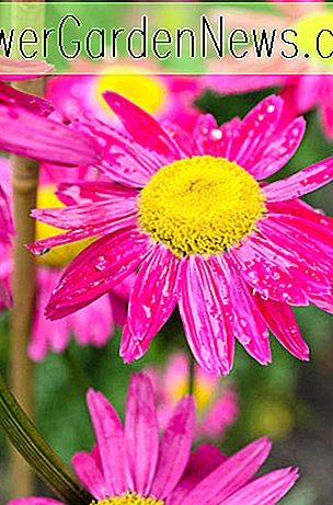 Tanacetum coccineum (Painted Daisy)