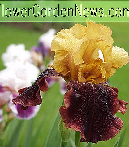 Iris 'Supreme Sultan' (Bearded Iris)
