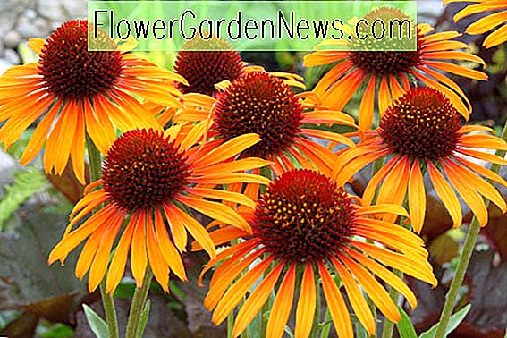 Echinacea 'Flame Thrower' (Échinacée)