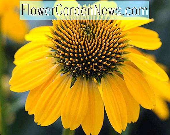 Echinacea 'Sombrero Citron Yellow' (Coneflower)