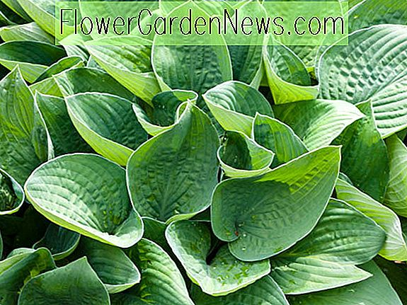 Hosta gracillima (Weegbree Lily)