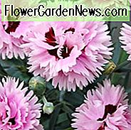 Dianthus 'Fizzy', rosa 'Fizzy', Sprudelrosa, rote Blumen, rote Dianthus, rosa Blumen, rosa Dianthus, zweifarbige Blumen, zweifarbige Dianthus