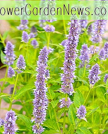 Agastache 'Blue Fortune' (ยักษ์ Hyssop)