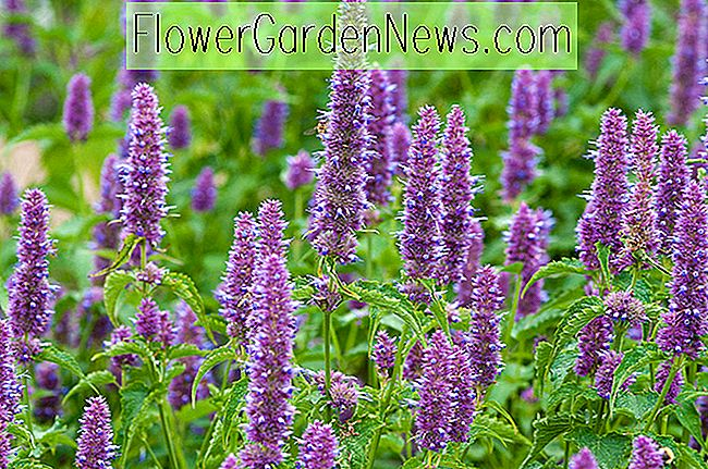 Agastache rugosa (Korean Mint)