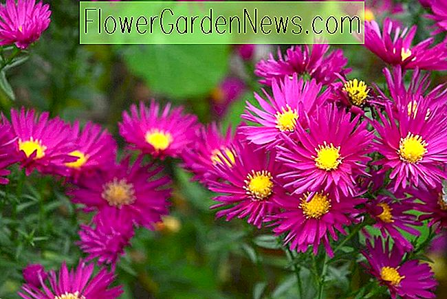 Aster novae-angliae 'September Ruby' (New England Asters)