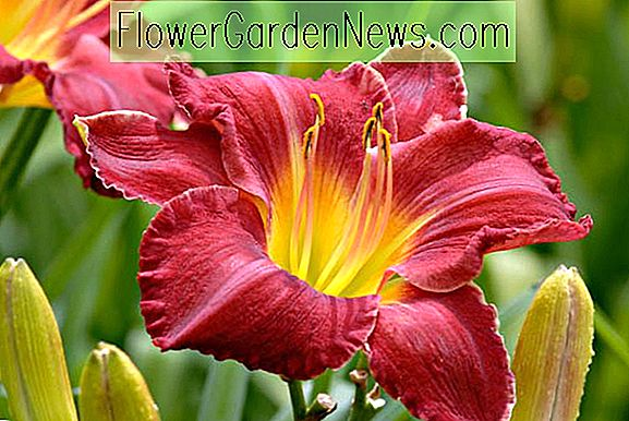 Hemerocallis 'Charles Johnston' (Reblooming Daylily)