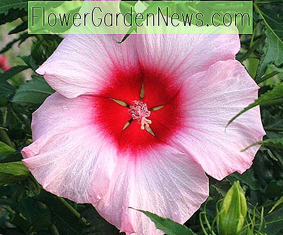 Hibiscus 'Lady Baltimore' (Rose Mallow)