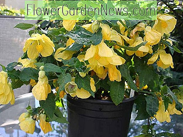 Abutilon 'Lucky Lantern Yellow' (Arce floreciente)