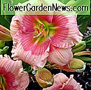 Hemerocallis Janice Brown, Taglilie Janice Brown, Taglilie Janice Brown, Janice Brown Taglilie, frühe Midseason Daylily, rosa Taglilien, rosa Daylily, Taglilien, Pinke Blumen, rosa Hemerocallis