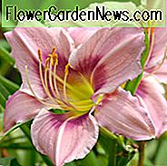 Hemerocallis Graceful Eye, Taglilie Graceful Eye, Taglilie Graceful Eye, Graceful Auge Daylily, Vorsaison Daylily, Lavendel Daylilies, Lavendel Daylily, Lavendel Blumen, Lavendel Hemerocallis