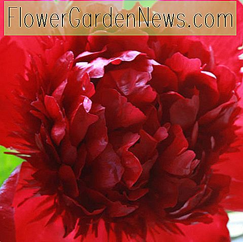 Paeonia 'Roter Charme' (Pfingstrose)
