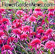 Echinacea 'Southern Belle', Sonnenhut 'Southern Belle', Sonnenhut, Pink coneflowers, Pink Echinacea, Sonnenhut, Coneflowers
