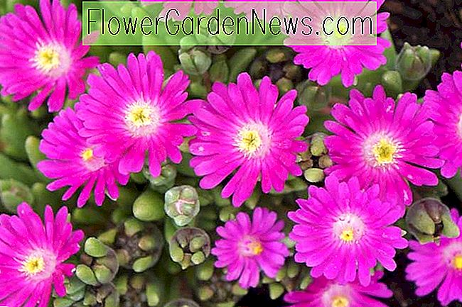 Delosperma 'Jewel of the Desert Opal' (Ice Plant)