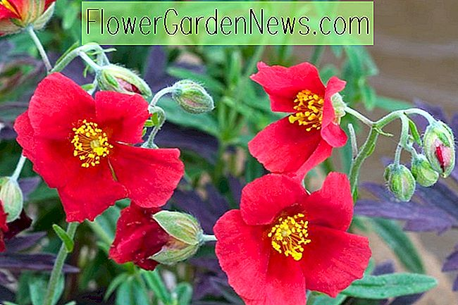Helianthemum 'Red Dragon' (ร็อคโรส)