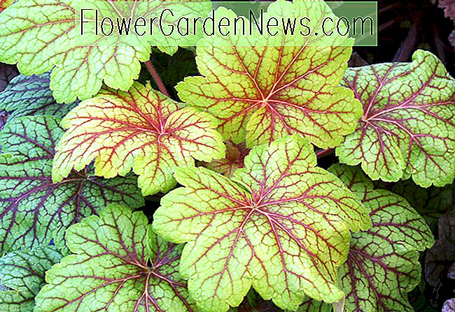 Heuchera 'Electric Lime' (Korallenglocken)