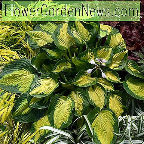 Hosta 'Alligator Alley' (Wegerichlilie)