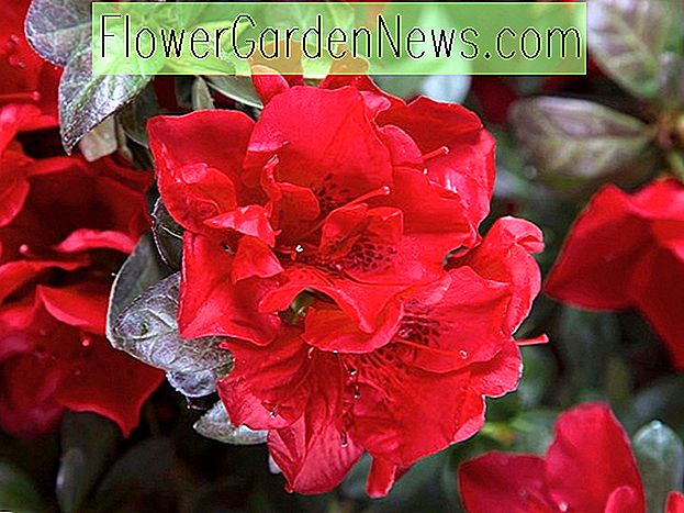 Rhododendron 'Autumn Fire' (Encore Azalea Series)