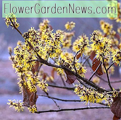 Hamamelis mollis 'Early Bright' (Chinesische Zaubernuss)