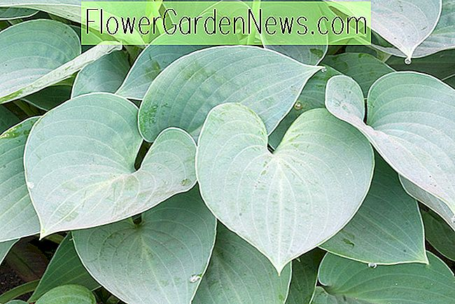 Hosta (Tardiana Group) 'Blue Moon' (Plantain Lily)