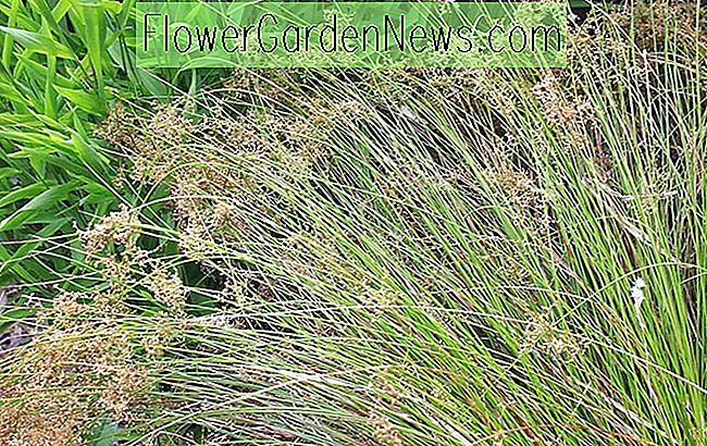 Juncus patens (California Grey Rush)