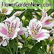 Alstroemeria 'Fougere', Peruaanse Lily 'Fougere', Lily of the Inca 'Fougere', Parrot Lily 'Fougere', Alstroemeria Garden Series, White Lily, White Peruvian Lily, White Alstroemeria, Lily flower, Lily Flower