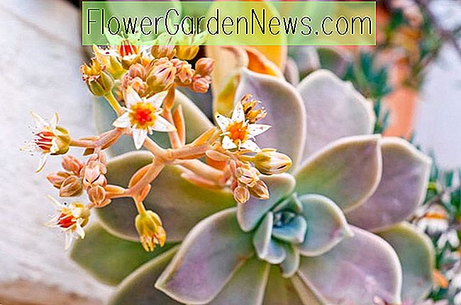 Graptoveria 'Fred Ives', 'Fred Ives' Graptoveria, Echeveria 'Fred Ives', Rosa Echeveria, Purple Echeveria, rosa Sukkulenten, lila Sukkulenten, Orange Echeveria, Orange Sukkulenten